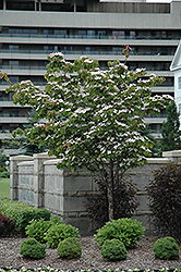 Flowering Dogwood (Cornus florida) at Rainbow Gardens
