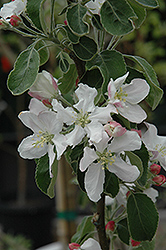 Granny Smith Apple (Malus 'Granny Smith') at Rainbow Gardens