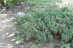 San Jose Juniper (Juniperus chinensis 'San Jose') at Rainbow Gardens