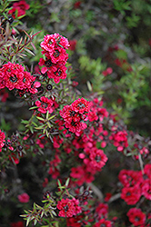 Ruby Glow Tea-Tree (Leptospermum scoparium 'Ruby Glow') at Rainbow Gardens