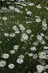Marguerite Daisy (Argyranthemum gracile) at Rainbow Gardens