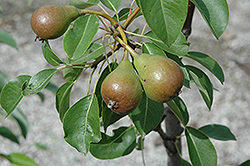 Moonglow Pear (Pyrus communis 'Moonglow') at Rainbow Gardens