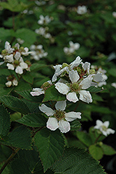 Triple Crown Blackberry (Rubus allegheniensis 'Triple Crown') at Rainbow Gardens