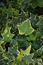 Gold Child Ivy (Hedera helix 'Gold Child') at Rainbow Gardens