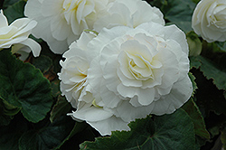 Nonstop® White Begonia (Begonia 'Nonstop White') at Rainbow Gardens