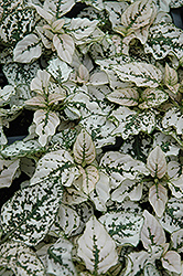 Splash Select White Polka Dot Plant (Hypoestes phyllostachya 'Splash Select White') at Rainbow Gardens