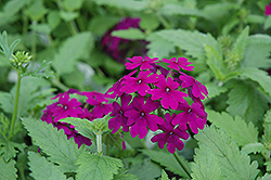 Superbena® Purple Verbena (Verbena 'Superbena Purple') at Rainbow Gardens