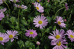 Jumbo Mauve Swan River Daisy (Brachyscome 'Happy Face Pink') at Rainbow Gardens