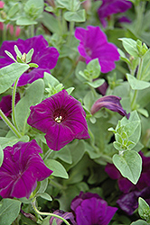 Supertunia® Royal Velvet® Petunia (Petunia 'Supertunia Royal Velvet') at Rainbow Gardens