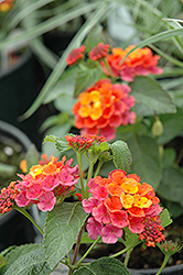 Lucky™ Sunrise Rose Lantana (Lantana camara 'Lucky Sunrise Rose') at Rainbow Gardens