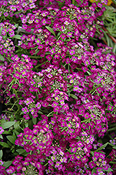 Wonderland Purple Alyssum (Lobularia maritima 'Wonderland Purple') at Rainbow Gardens