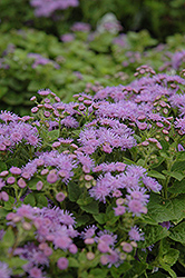 Artist Blue Flossflower (Ageratum 'Artist Blue') at Rainbow Gardens