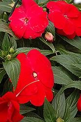 Sonic® Red New Guinea Impatiens (Impatiens 'Sonic Red') at Rainbow Gardens