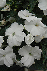 Sonic® White New Guinea Impatiens (Impatiens 'Sonic White') at Rainbow Gardens
