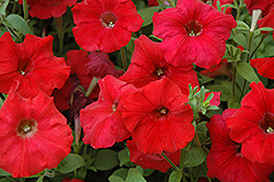 Easy Wave Red Petunia (Petunia 'Easy Wave Red') at Rainbow Gardens