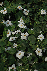 Bahia White Night Bacopa (Sutera cordata 'Bahia White Night') at Rainbow Gardens