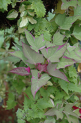 Tricolor Sweet Potato Vine (Ipomoea batatas 'Tricolor') at Rainbow Gardens
