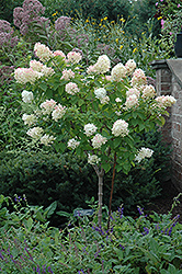 Limelight Hydrangea (tree form) (Hydrangea paniculata 'Limelight (tree form)') at Rainbow Gardens