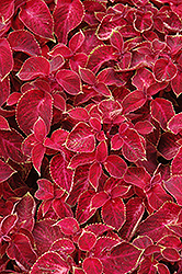 Wizard Velvet Red Coleus (Solenostemon scutellarioides 'Wizard Velvet Red') at Rainbow Gardens