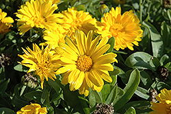Bon Bon Yellow Pot Marigold (Calendula officinalis 'Bon Bon Yellow') at Rainbow Gardens