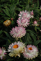 Dreamtime Jumbo Light Pink Strawflower (Bracteantha bracteata 'Dreamtime Jumbo Light Pink') at Rainbow Gardens