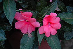 Sonic® Salmon New Guinea Impatiens (Impatiens 'Sonic Salmon') at Rainbow Gardens