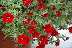 Cabaret® Bright Red Calibrachoa (Calibrachoa 'Cabaret Bright Red') at Rainbow Gardens