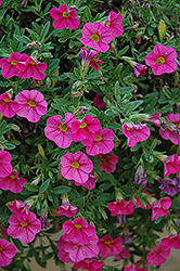 Cabaret® Hot Pink Calibrachoa (Calibrachoa 'Cabaret Hot Pink') at Rainbow Gardens