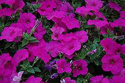 Easy Wave Neon Rose Petunia (Petunia 'Easy Wave Neon Rose') at Rainbow Gardens