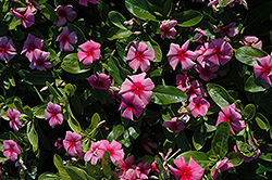 Cora® Strawberry Vinca (Catharanthus roseus 'Cora Strawberry') at Rainbow Gardens