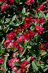 Profusion Double Cherry Zinnia (Zinnia 'Profusion Double Cherry') at Rainbow Gardens