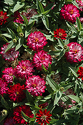 Zahara® Double Cherry Zinnia (Zinnia 'Zahara Double Cherry') at Rainbow Gardens