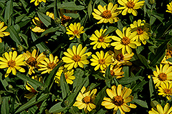 Profusion Yellow Zinnia (Zinnia 'Profusion Yellow') at Rainbow Gardens