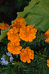 Durango Orange Marigold (Tagetes patula 'Durango Orange') at Rainbow Gardens
