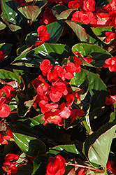 Whopper® Red Green Leaf Begonia (Begonia 'Whopper Red Green Leaf') at Rainbow Gardens