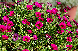 Cabaret® Rose Calibrachoa (Calibrachoa 'Cabaret Rose') at Rainbow Gardens