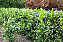 Dwarf Burford Chinese Holly (Ilex cornuta 'Dwarf Burford') at Rainbow Gardens