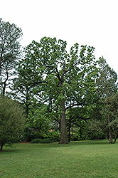 Post Oak (Quercus stellata) at Rainbow Gardens