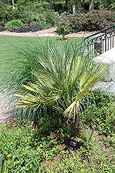 Mexican Fan Palm (Washingtonia robusta) at Rainbow Gardens