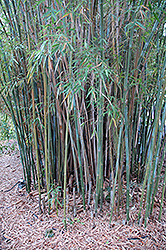 Graceful Bamboo (Bambusa textilis 'Gracilis') at Rainbow Gardens