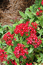 Graffiti® Lipstick Star Flower (Pentas lanceolata 'Graffiti Lipstick') at Rainbow Gardens