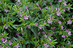 False Heather (Cuphea hyssopifolia) at Rainbow Gardens