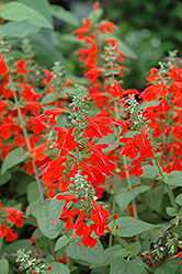 Lady In Red Sage (Salvia coccinea 'Lady In Red') at Rainbow Gardens