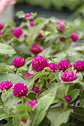 Buddy Purple Globe Amaranth (Gomphrena globosa 'Buddy Purple') at Rainbow Gardens
