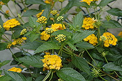 New Gold Lantana (Lantana camara 'New Gold') at Rainbow Gardens