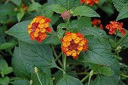Dallas Red Lantana (Lantana camara 'Dallas Red') at Rainbow Gardens
