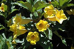 Golden Trumpet (Allamanda cathartica) at Rainbow Gardens