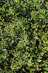Dwarf Yaupon Holly (Ilex vomitoria 'Nana') at Rainbow Gardens
