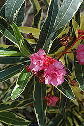 Twist Of Pink™ Oleander (Nerium oleander 'Planst') at Rainbow Gardens