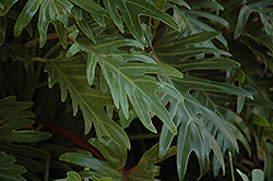 Xanadu Philodendron (Philodendron 'Winterbourn') at Rainbow Gardens